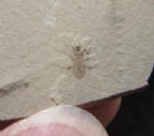 WEEVIL - EOCENE, COLORADO, U.S.A.